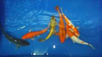 Cá chép koi với 6con
