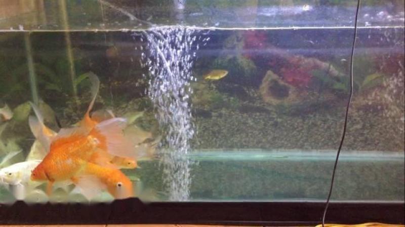 bầy cá chép koi + nam dương