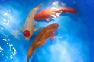 Đàn cá chép KOI vảy ánh kim