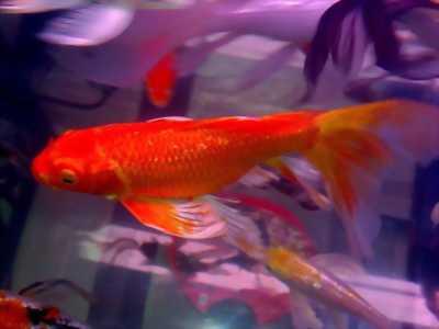 Cá chép KOI Lemon Hariwake lớn ánh kim