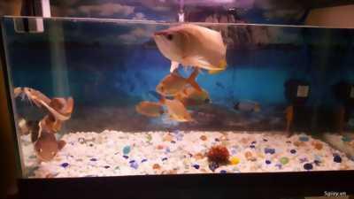Cần bán đàn cá chép KOI nhỏ giá tốt