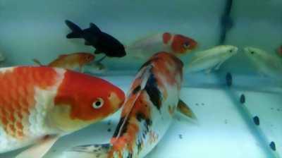 Cần bán cá chép Koi Bông