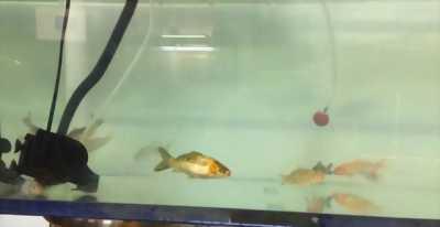 Bán nhanh cá chép Koi