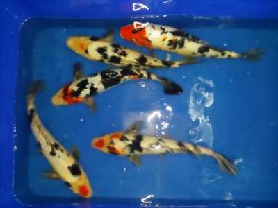 Koi fish F1, size 35-40 hàng đẹp