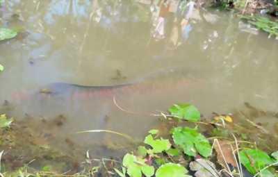 Cá hải tượng 30kg mới bắt dưới sông
