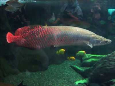 Cá hải tượng dài khoảng 1m1