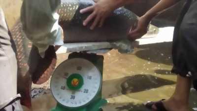 Cần bán 1 con cá hải tượng hơn 45kg