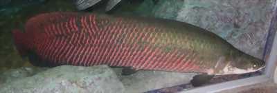 Cần bán cá Hải Tượng khoảng 70kg
