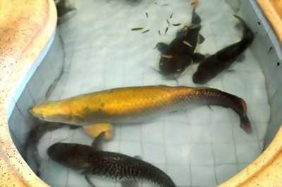 Cá hải tượng long màu vàng đồng size 35
