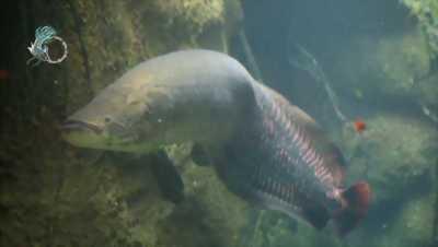 Cá Hải Tượng Brasil giá cực sốc
