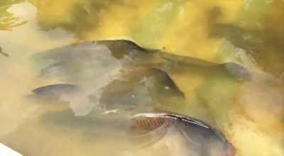 Cần bán đàn cá Hải Tượng 1m4