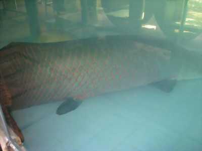 Mua cá hải tượng Size LỚN - NHỎ các loại, không ngại xa.
