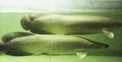 Cần bán cặp cá hải tượng đẹp giá cực sốc