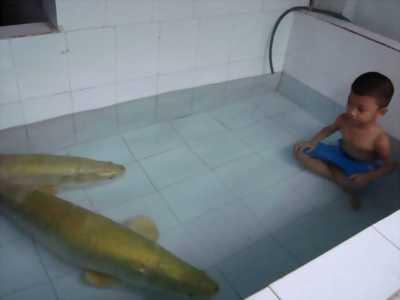Bán cá hải tượng to giá rẻ