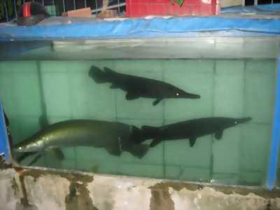 Bán cá hải tượng màu vàng đồng bông đỏ, cá hải tượng, màu vàng đồng
