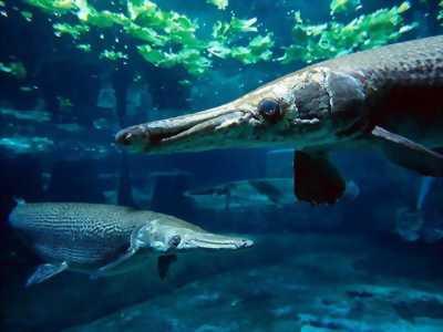 Cần bán 1 con cá Hải Tượng khoảng 30kg