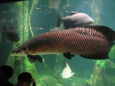Cá hải tượng lớn 1.5m giống tự nuôi