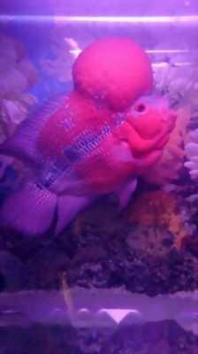 Bán con cá La Hán,  đầu to