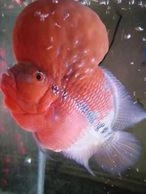 Cần bán cá la hán đầu siêu to màu đỏ sáng đẹp