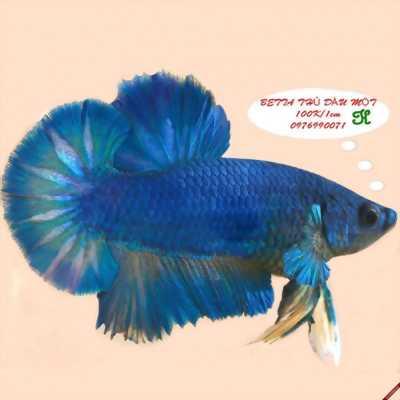 Cần bán cá Betta với giá rẻ bất ngờ