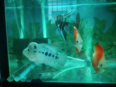 Cá la hán và kim long uc