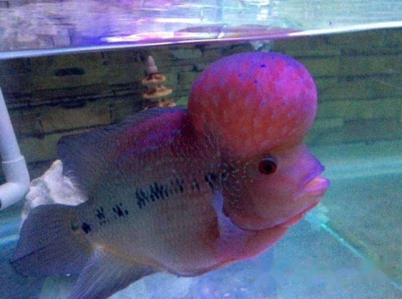 Cần bán con cá La Hán