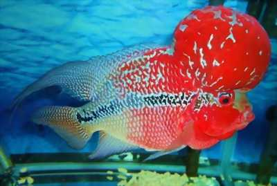Cần bán cá La hán Thái Đỏ siêu đẹp giá siêu rẻ