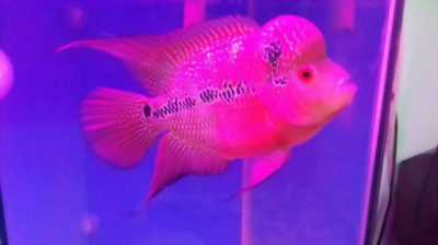 Bán cá Cá la hán 3 ngón đẹp, khỏe, giá rẻ