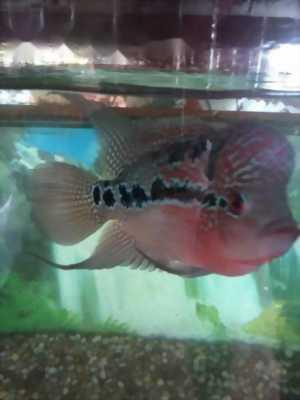 Cá la hán châu đầu 2, 5 ngón