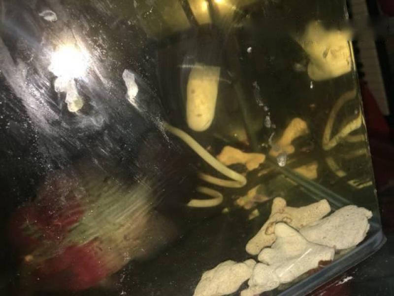 Bán cá La Hán size 3, 5 ngón