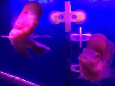 Cần bán cá La Hán Thái Châu + khỉ đỏ
