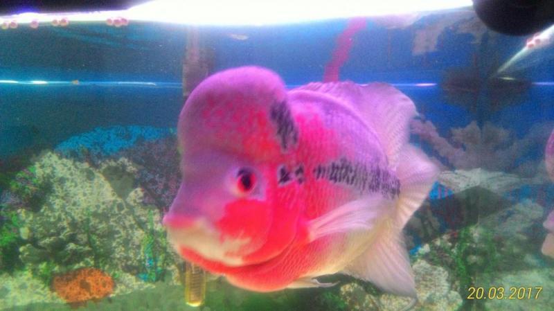 Cá La hán trâu đỏ