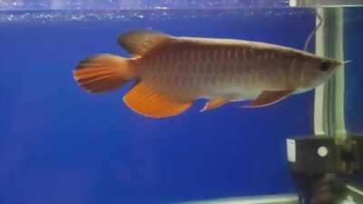 Cần bán cá rồng (ngân long) size 20 cm, giá 150k