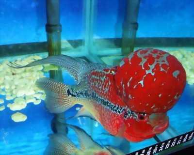 Cá la hán bột Phúc Lộc Thọ - Thái Đỏ tuyệt đẹp
