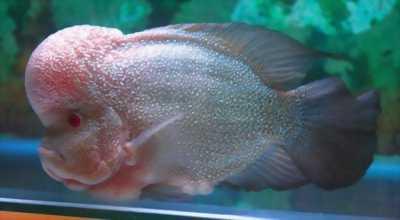 Cá la hán kamalau magma châu sợi full đầu