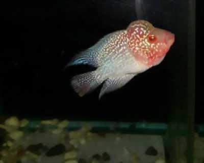 Cần bán cá La Hán Kamalau Magma châu sợi full đầu đẹp lung linh với giá cực ưu đãi