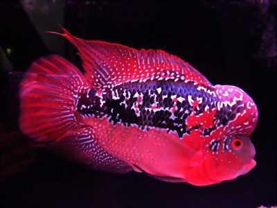 Cá la hán thái đỏ