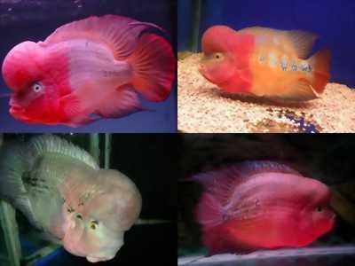 Các loại cá la hán chất lượng tuyệt đẹp giá tốt