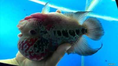 Cá la hán full châu