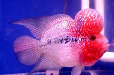 Bán cá La Hán đủ size đủ dòng cá châu full đầu