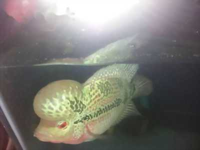 Cá la hán đỏ châu