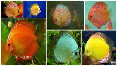 Cá cảnh, Bán cá La Hán, Cá Koi, Cá đĩa, Cá nước ngọt