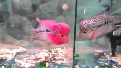 Bán cá la hán size 2.5 ngón đỏ hồng cực đẹp