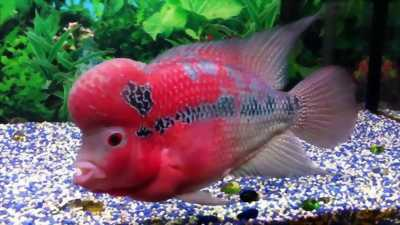 Bán cá la hán đỏ châu đẹp cực khỏe