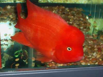 Bán cá la hán size 2 ngón dòng thái đỏ đẹp cực