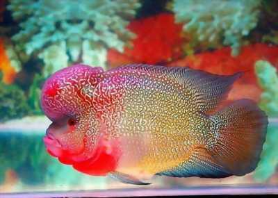 Bán Cá la hán đỏ 1n5 không bệnh tật, đẹp cực kì
