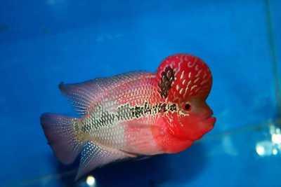 Cá la hán red magma châu đẹp