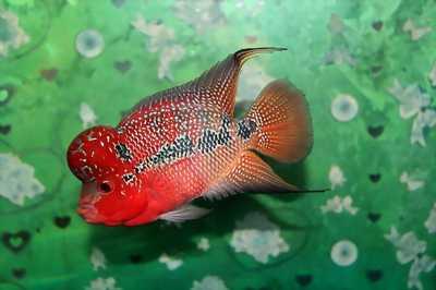 Cá la hán size 2 ngón dòng thái đỏ cực đẹp