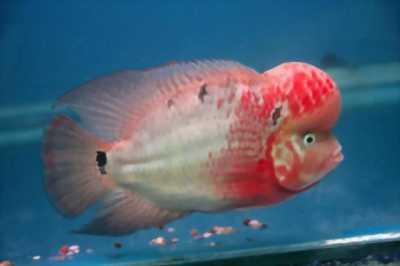 La hán đỏ châu Cá size hơn 3ngón