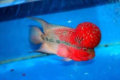 La hán đỏ full châu cực khỏe và đẹp